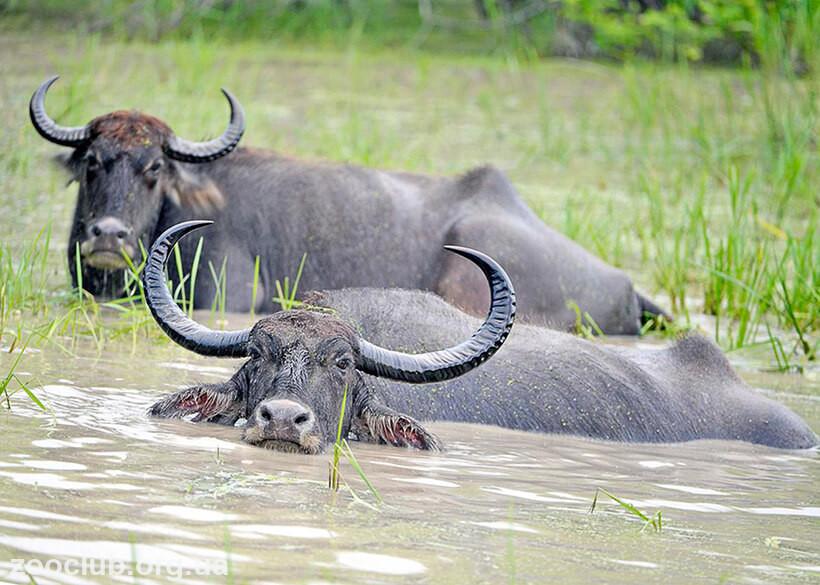 Буйвол водяной: описание, ареал обитания. человек и буйвол
