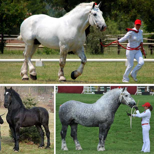 Карликовая лошадь - особенности содержания и ухода