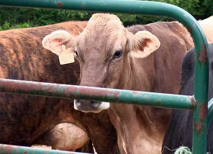 Можно ли пить молоко, если у коровы лейкоз? - дача круглый год
