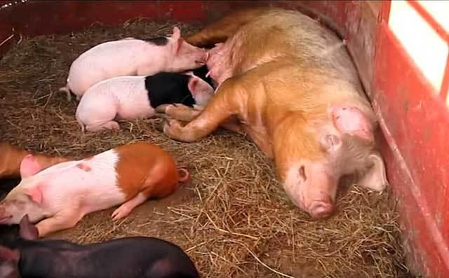Все о периоде беременности у свиней