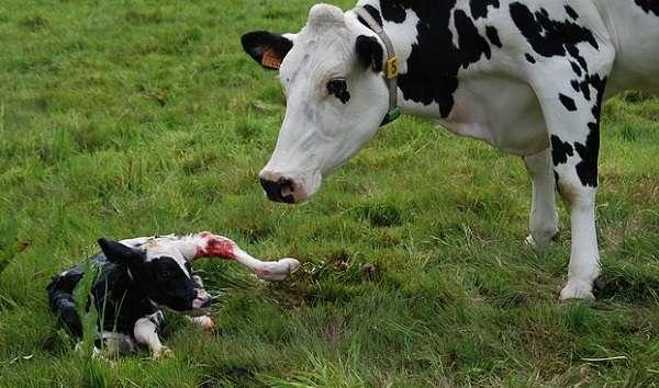 Как и чем лечить понос у коровы. что делать, если корова поносит как вылечить расстройство желудка у домашних животных