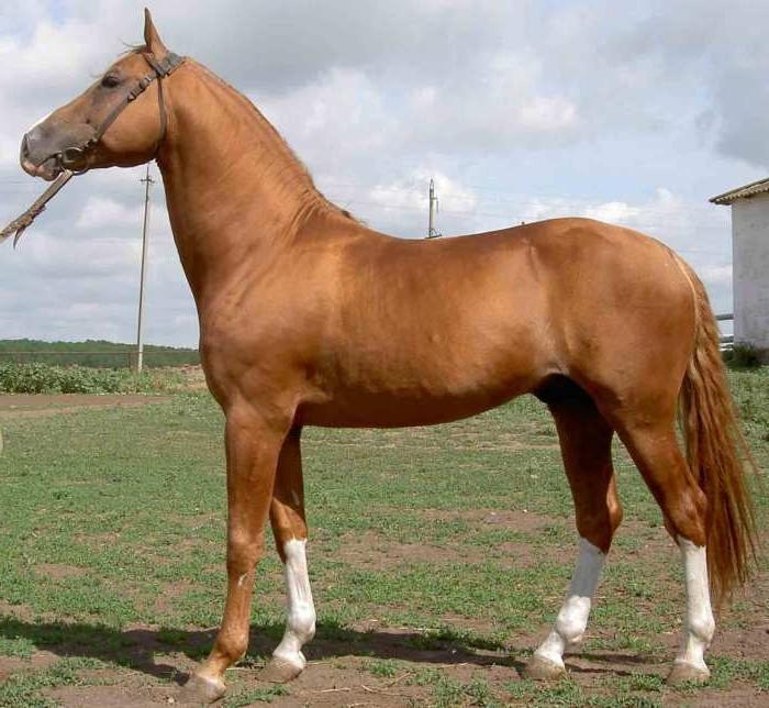 Донская порода лошадей: история, описание, фото, видео