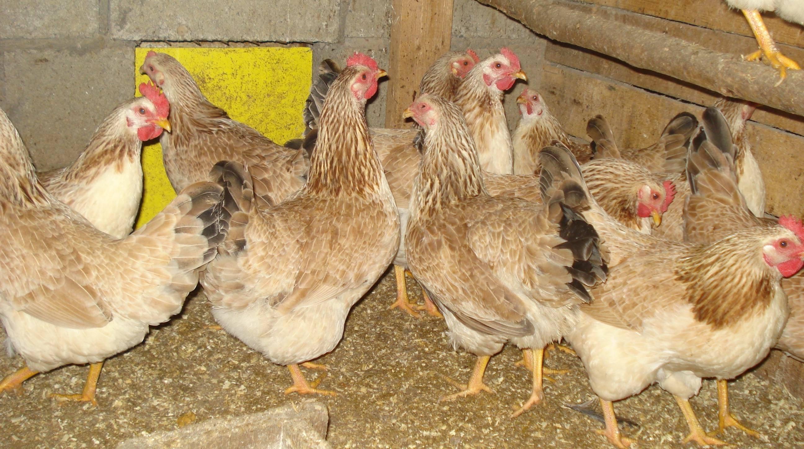 Загорская лососевая порода кур - стабильные яйца до 90 грамм!