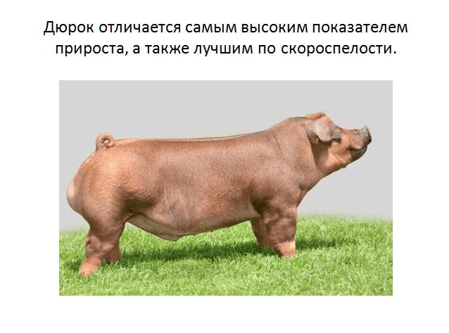 Дюрок порода свиней: характеристика и рекомендации по разведению!