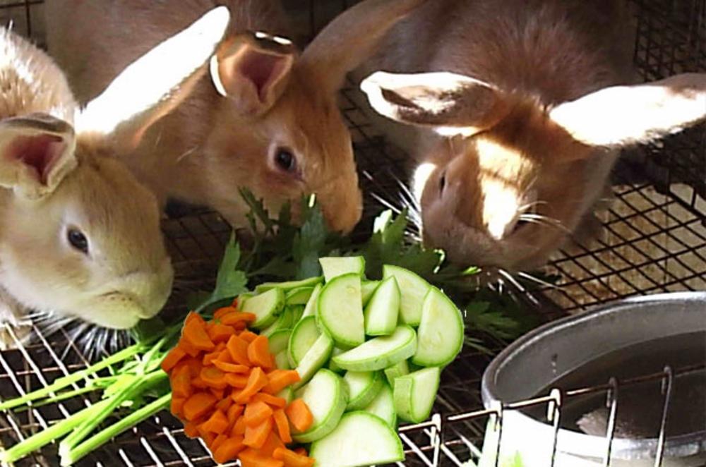 Как правильно, сколько раз в день и чем кормить декоративного кролика в домашних условиях: советы с видео