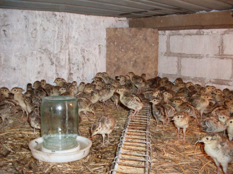 Чем кормить фазанов в домашних условиях