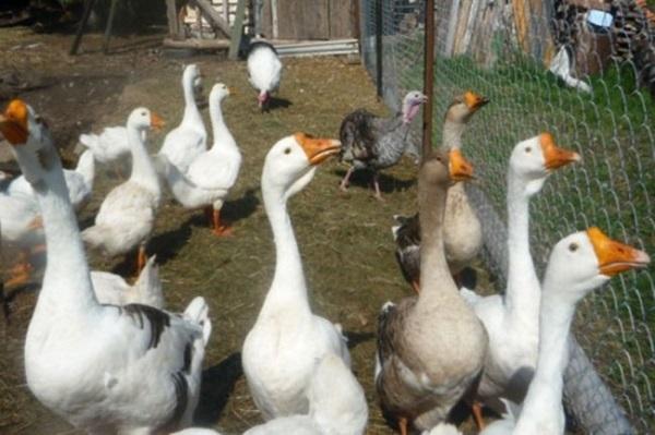 Особенности разведения гусей в домашних условиях для новичков - подробно!