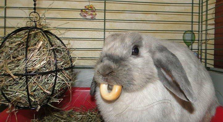 Кролики, сколько они живут, и почему так мало?