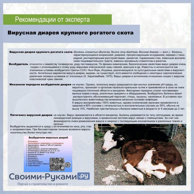 Лептоспироз у коров и крупного рогатого скота. заболевание лептоспироз у крупного рогатого скота