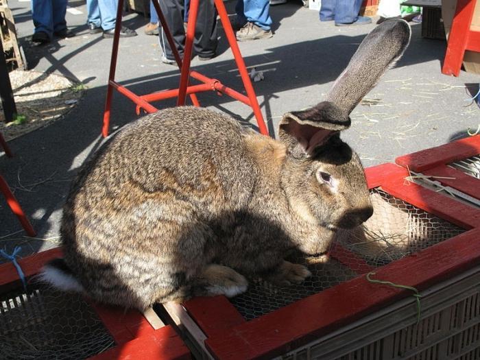 Сколько весит самый большой кролик: обзор самых крупных пород этих животных