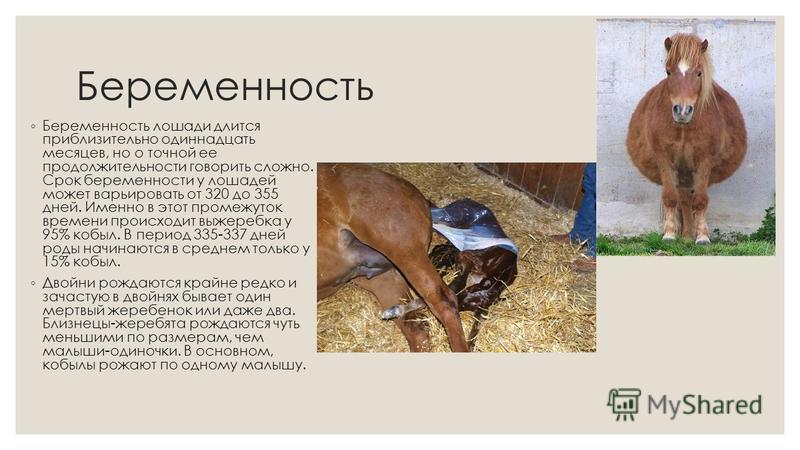 Как рожают лошади и сколько длится беременность?