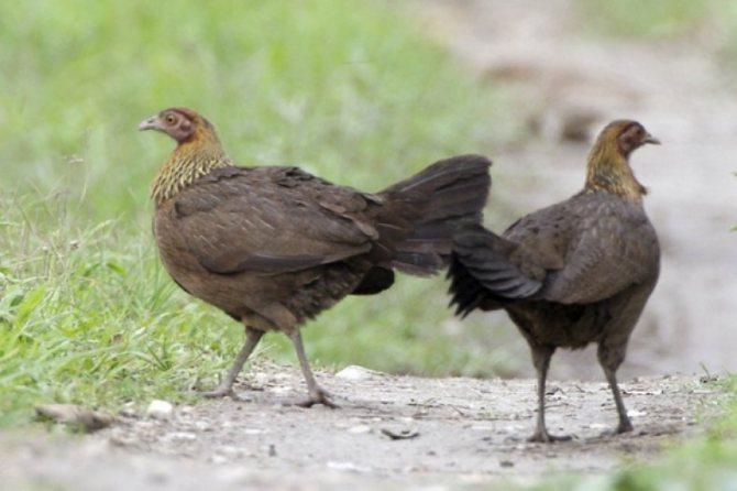 О дикой курице и диком петухе: банкивская джунглевая и цейлонская курицы