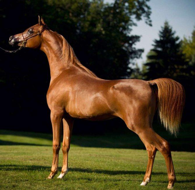 Характеристики и описание арабской породы лошадей; сколько рёбер у арабской чистокровной лошади