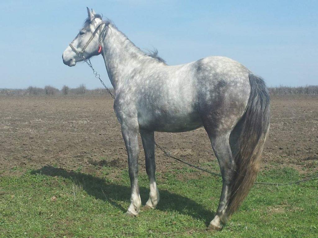 Орловский рысак: фото рысистой породы лошадей, масти, характеристика, цена, содержание и разведение в россии
