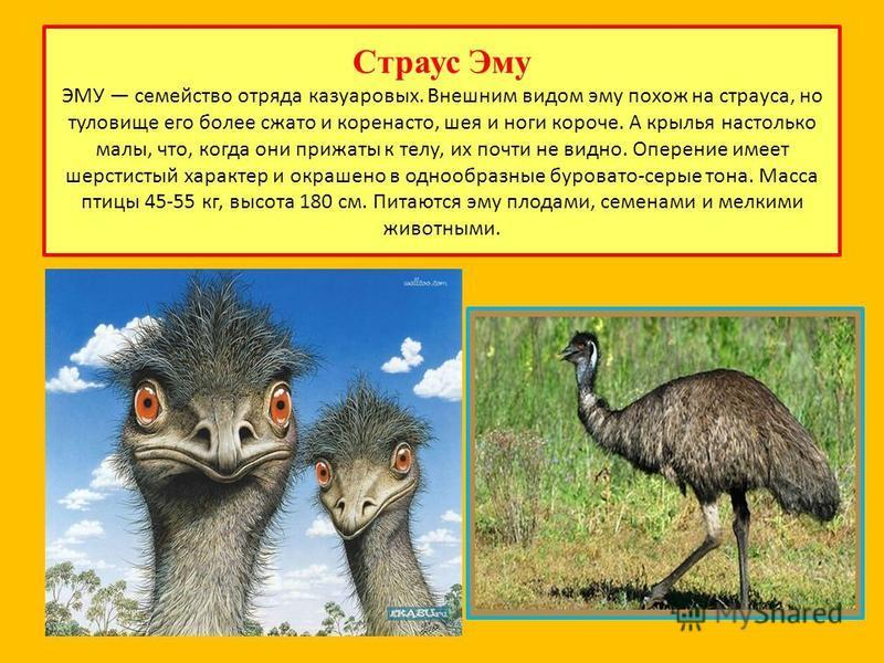 В чем разница между эму и страусом