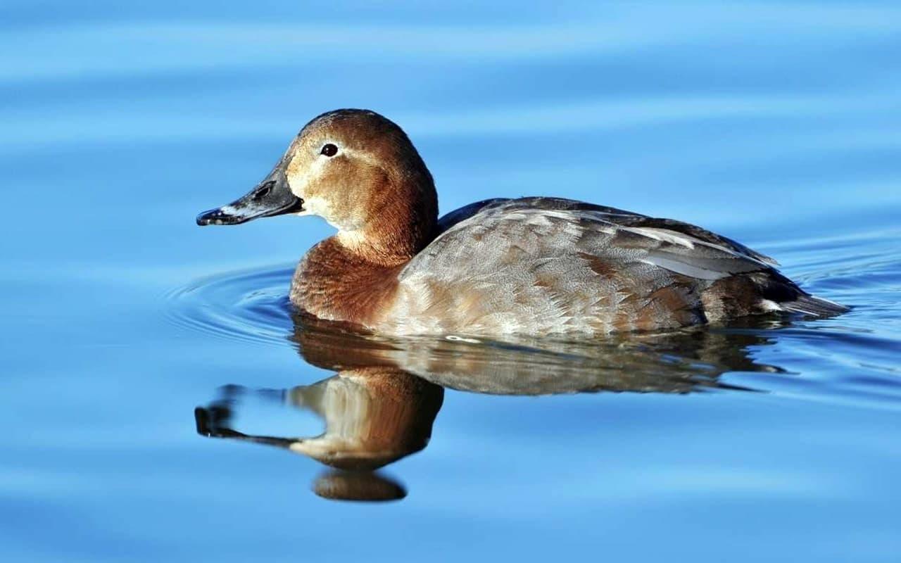 Дикая утка нырок – особенности водоплавающей птицы