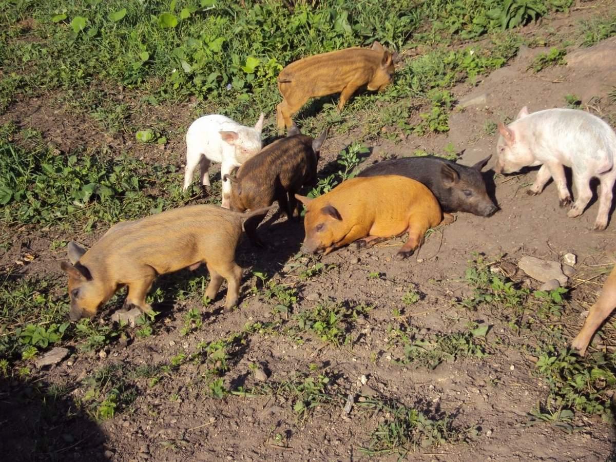 Кармалы (порода свиней): характеристика, отзывы владельцев, кормление поросят и уход