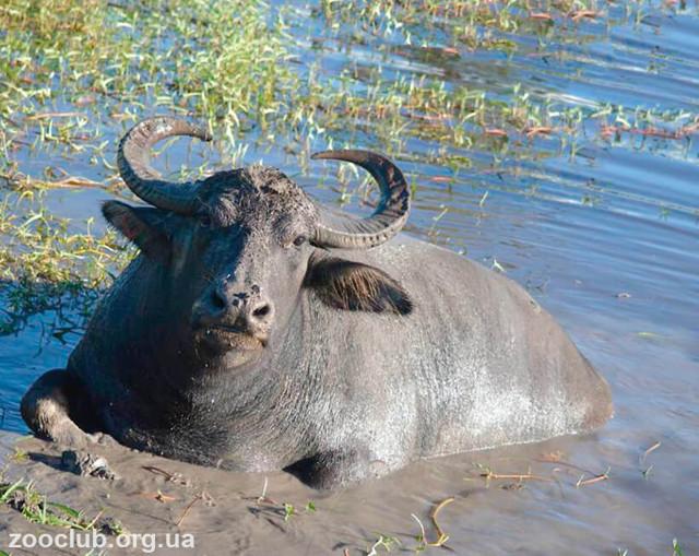 ✅ все об индийском (азиатском, водяном) буйволе арни: подробная информация