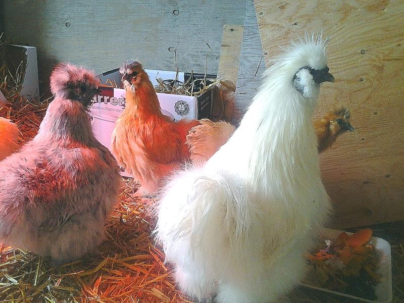 Китайская шелковая курица