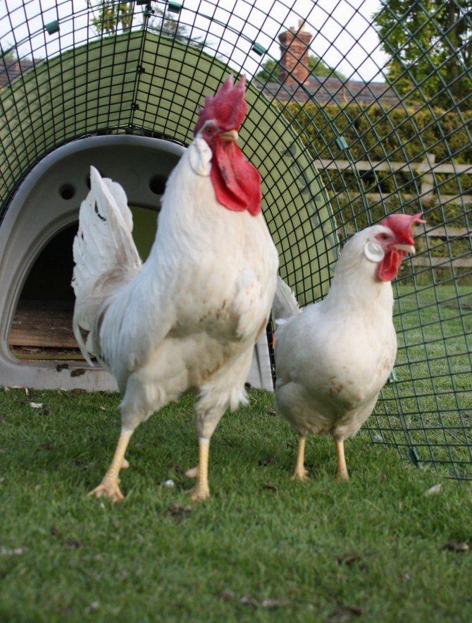 Минорка порода кур – описание испанки, содержание, фото и видео