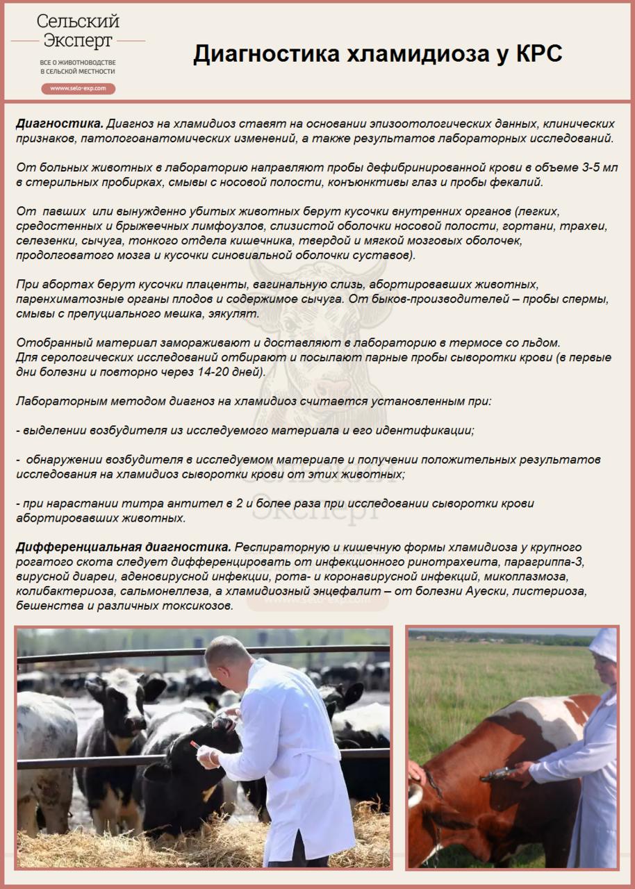Лептоспироз у коров: что делать, как лечить