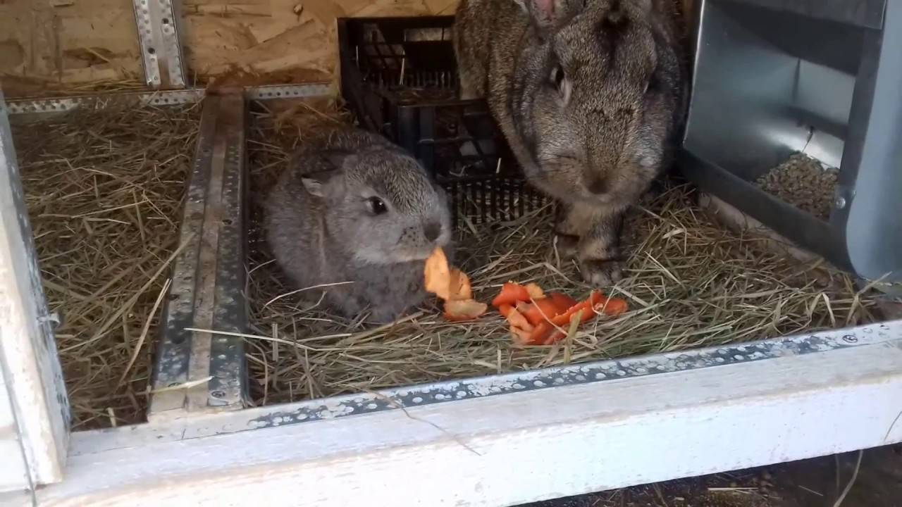 Чем кормить крольчих после окролов, чтобы было молоко: рацион питания кормящих