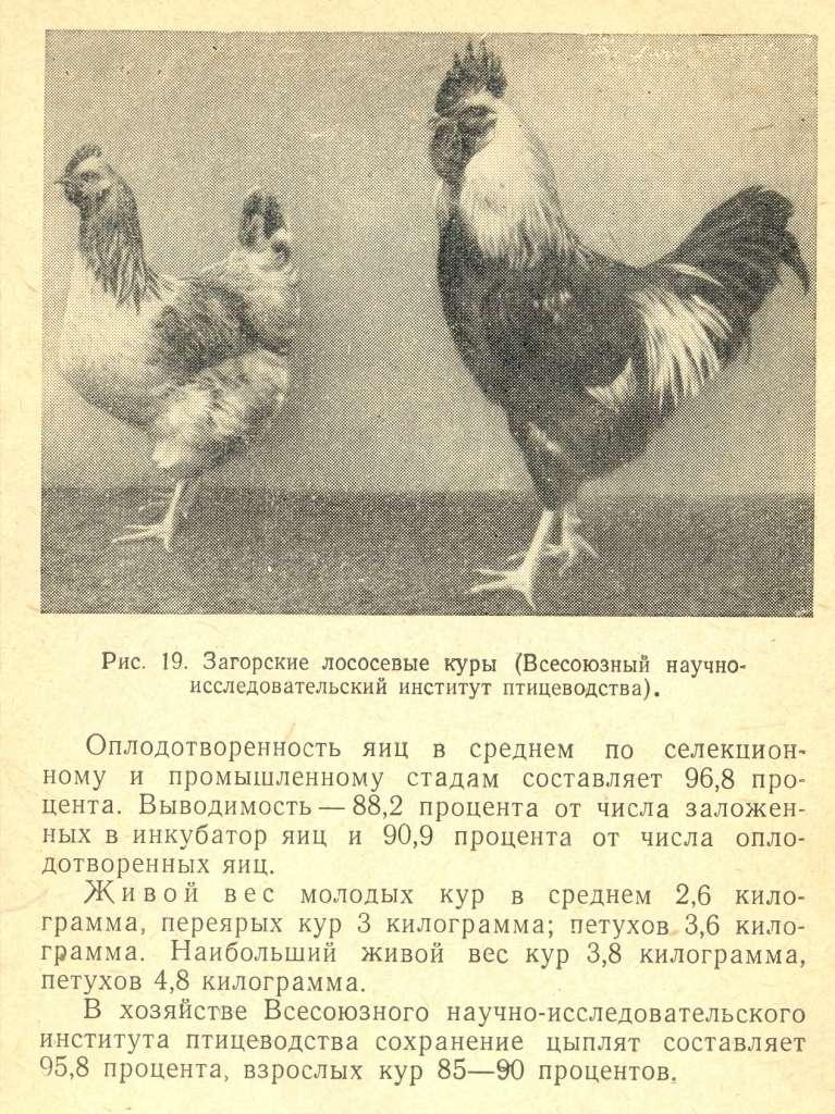 Загорская порода кур – описание лососевой, фото и видео