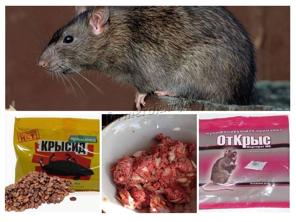 Крысы в курятнике - методы борьбы и отзывы практиков