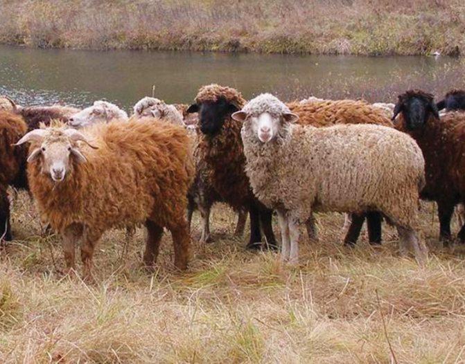Правила содержания эдильбаевской породы овец, особенности кормления, продуктивность животных