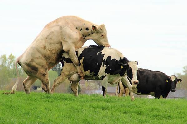 Вакцинация крс (крупного рогатого скота): правила и схема введения