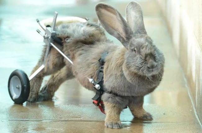 У кролика отказали задние лапы: что делать, как лечить и почему это происходит