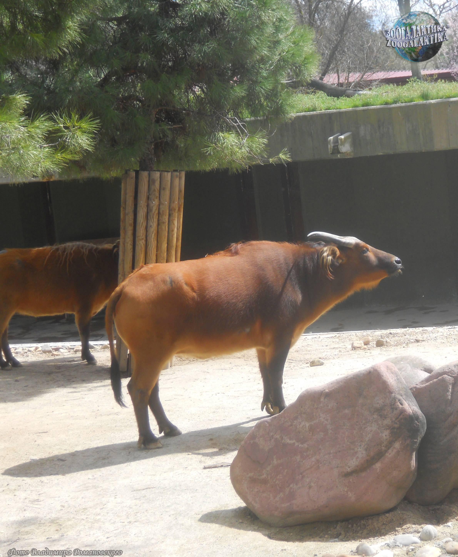 Аноа, карликовый буйвол