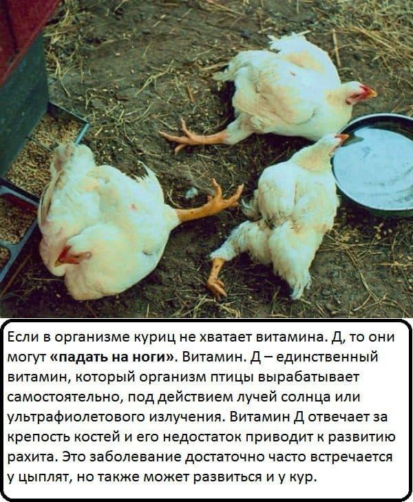 Бройлеры и цыплята садятся на ноги: почему и что делать (причина, лечение)