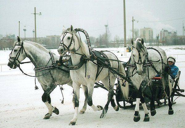 Запряженная лошадь: как правильно запрягать коня в сани и телегу? способы запряжки в повозку. предметы и жерди для запрягания