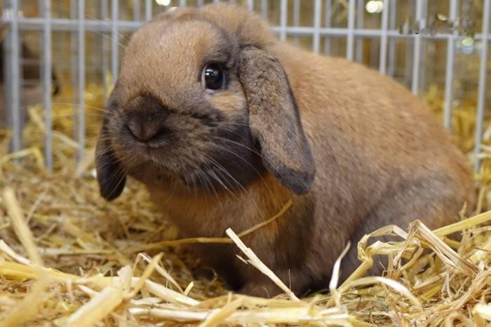 Вислоухий кролик - карликовый баран: порода с фотографиями и видео