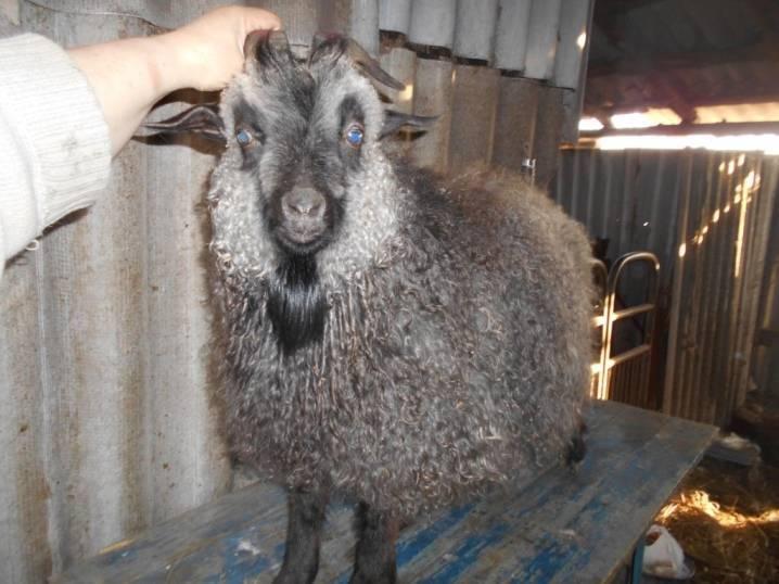 Краткое описание пород коз