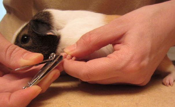 Как подстричь когти кролику. описание с видео и фото