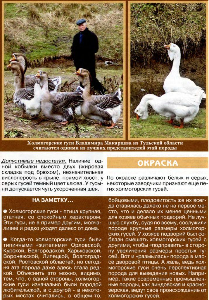 Холмогорские гуси: советы по уходу и содержанию холмогоров