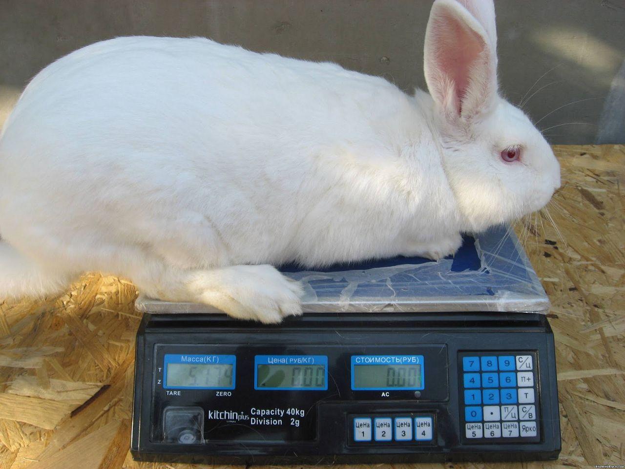 Сколько длится беременность у кроликов - petnaobed.ru
