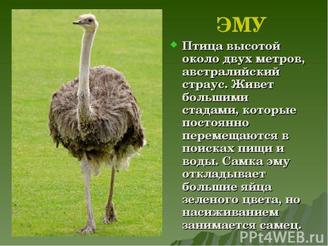 Страус — птица или животное, описание жизни страусов