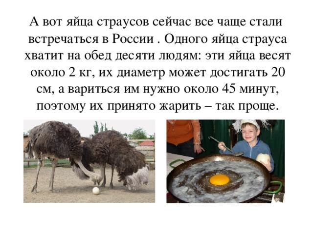 Сколько яиц несет страус в месяц. яйценоскость страусов