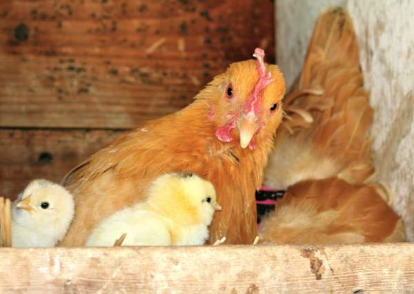 ✅ как подсадить цыплят под наседку, что делать после того, как клуша вывела цыплят - tehnomir32.ru