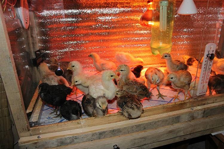✅ о выращивании цыплят в домашних условиях для начинающих: кормление, уход - tehnomir32.ru