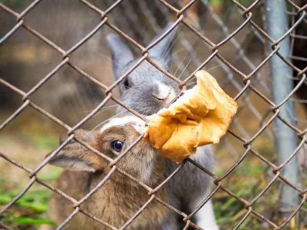 Как, зачем и в каком виде давать пшеницу кроликам?