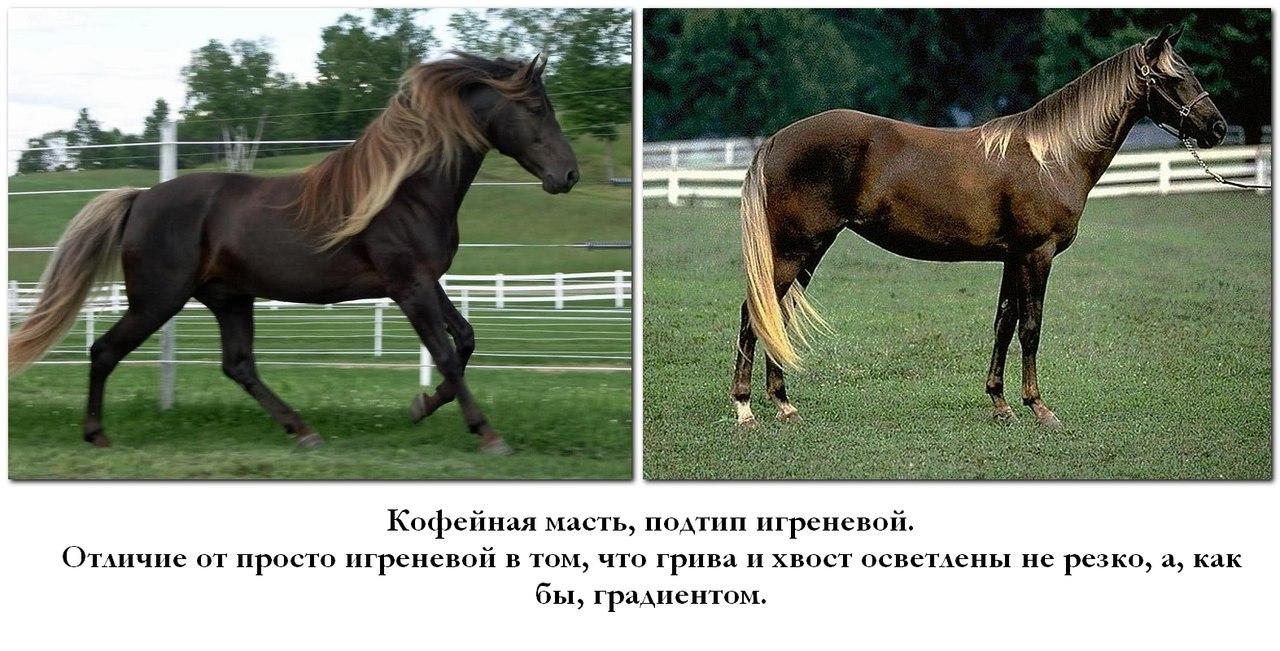 Чалая масть лошадей - описание, фото, содержание и уход