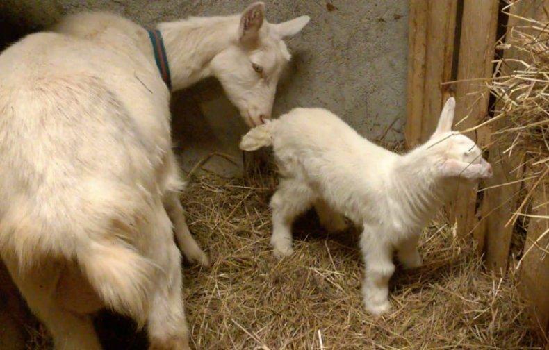 Особенности содержания коз в домашних условиях, советы начинающим
