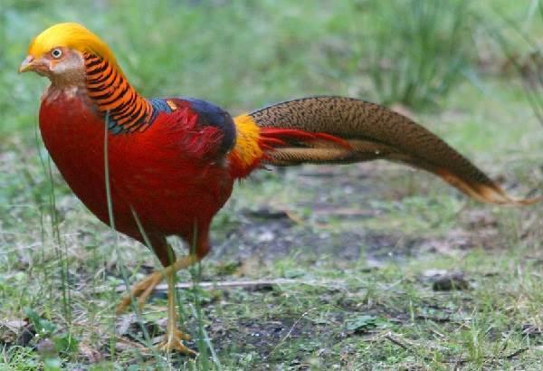 Какие характеристики имеют фазаны?