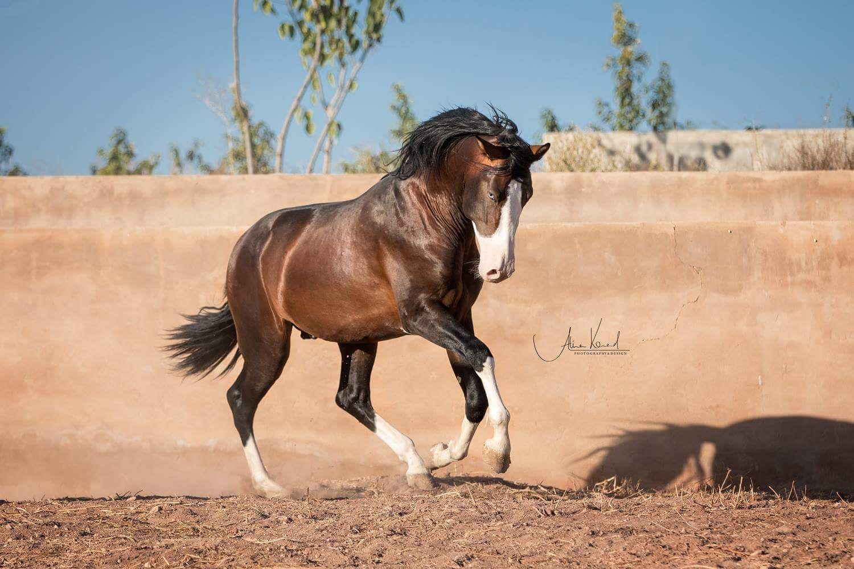Андалузская порода лошадей.описание и фото породы | мои лошадки