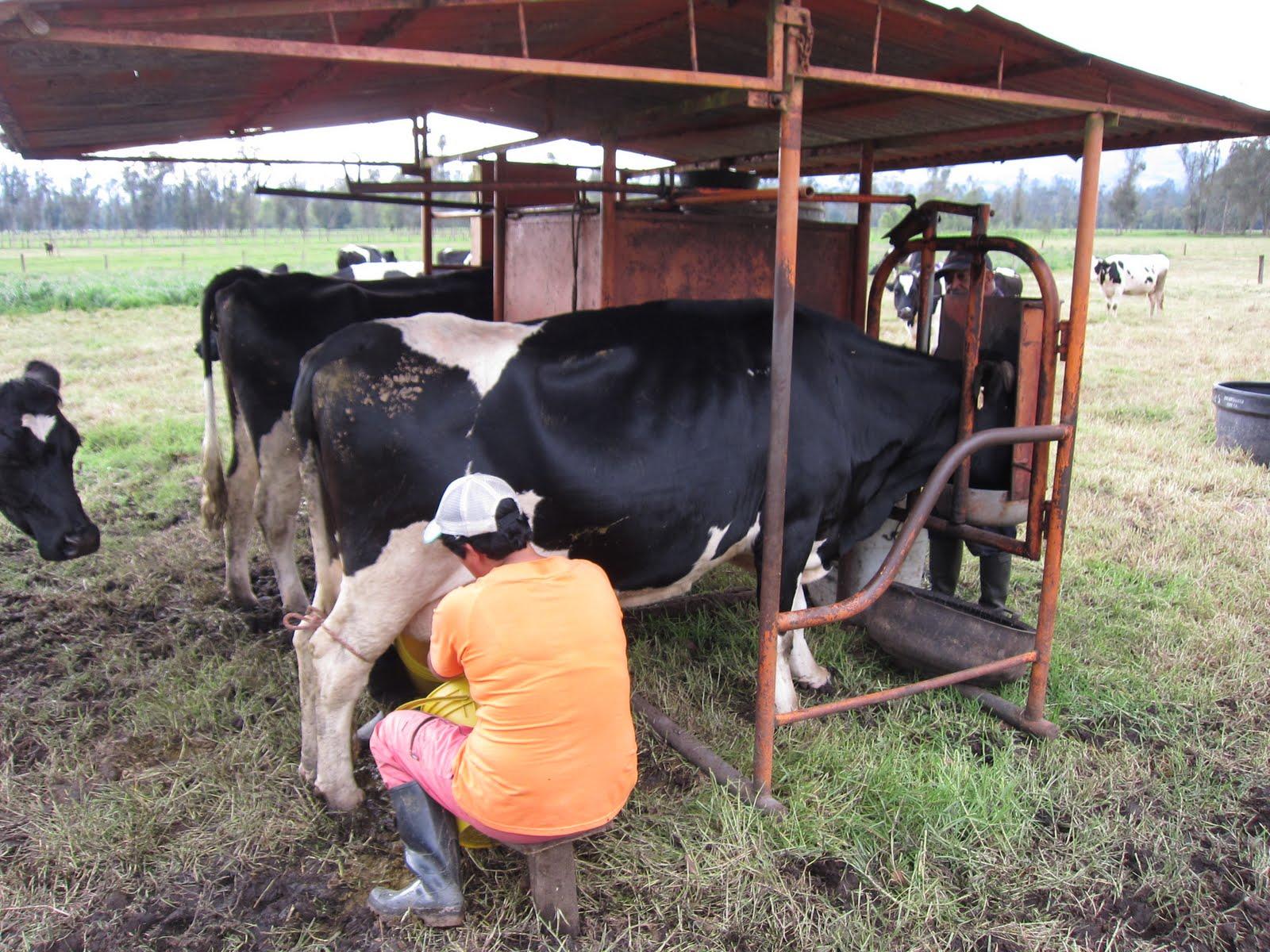 Корова не отдает молоко что делать, почему корова не отдает молоко