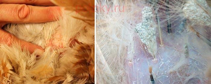 О борьбе с куриным, перьевым клещом: как избавиться, вывести, чем обработать